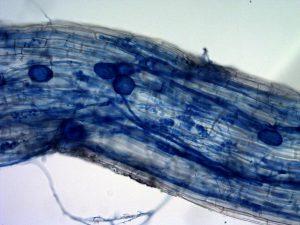 maizemycorrhiza