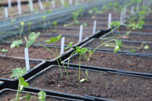 Testování vlivu opakovaného sucha na růst rostlin jetele plazivého s detailem v době přesazení rostlin do prostředí s trvalým dostatkem vláhy. Foto V. Latzel