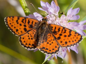 Hnědásek květelový patří mezi kriticky ohrožené druhy našich denních motýlů nalezený na studovaných úhorech. Foto V. Hotárek