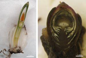 Podélný řez pupenem sněženky (Galanthus nivalis - vlevo) s plně vyvinutým květem, a pupenem podbělu (Tussilago farfara – vpravo) s vyvinutým květenstvím krytým pupenovými a stonkovými šupinami.