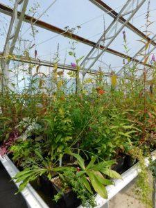 Skleníkový pokus studující strategie klonálních a neklonálních rostlin