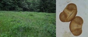 Golové mláky – an open calcareous fen (left figure) where moss polsters were collected for recent pollen spectra. Pollen representation of spruce (right figure) and beech corresponded with their representation in surrounding vegetation. Photos by P. Hájková and M. Čierniková.