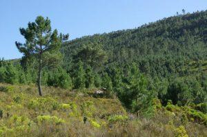 Borovice přímořská (Pinus pinaster), jeden z mnoha nepůvodních vysoce invazních stromů, jehož přítomnost má v Jižní Africe významné negativní dopady na přírodu. Na fotografii je hustý invazní porost v horách v Západním Kapsku (Fotografie: David Richardson).