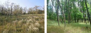 Trnovník akát (Robinia pseudoacacia) je v České republice, stejně jako v řadě evropských zemí, zároveň hospodářskou dřevinou i invazním druhem, nebezpečným zejména pro teplomilné trávníky, reliktní bory a teplomilné doubravy. Na fotografii vlevo je akát šířící se kořenovými výmladky do kavylového trávníku na jižní Moravě, vpravo akát jako hospodářská dřevina na Roudnicku. (Fotografie: Michaela Vítková).