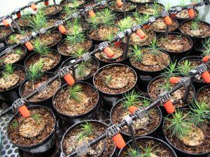 Smrkové semenáčky inokulované houbami rostoucí v jehličnatém substrátu.
