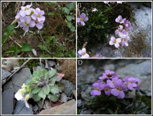 Alpine morphotype of Arabidospsi arenosa from four mountain ranges: (A) Niedere Tauern, (B) Vysoké Tatry, (C) Rodna, (D) Făgăraș