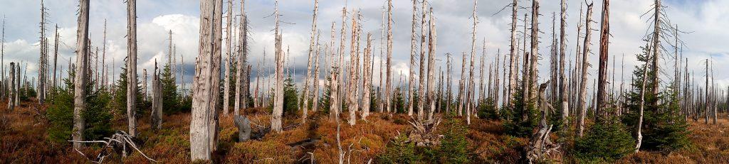 Velkoplošný rozpad stromového patra v Bavorském Národním Parku, kde jsme podrobně studovali procesy smrkového lesa po kůrovcové kalamitě