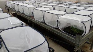 Jetel plazivý v pokusu testujícím paměť rostlin