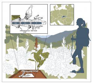 Lokalita Štiavnica v Nízkých Tatrách, detail přírůstků oddenku šťovíku. alpského