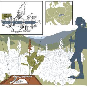 Lokalita šťovíku alpskéhoail přírůstků oddenku šťovíku alpského