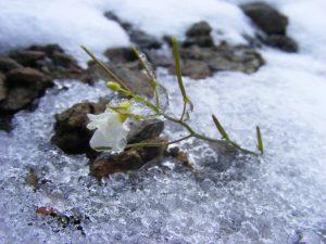 Alpský řeřišničník, který během naší návštěvy v červnu překvapil nenadálý mráz a ledová vánice