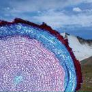 Atlas of Stem Anatomy of Arctic and Alpine Plants Around the Globe