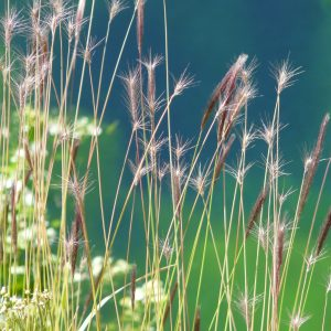 Hordeum comosum z And je druhem ječmene s cizí DNA původem z panikoidních trav. Foto Frank Blattner.
