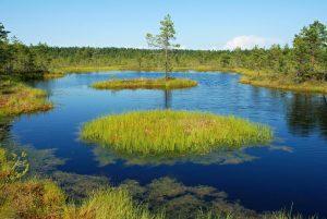 Temně zbarvená rašelinná voda je bohatá na huminové látky fenolické povahy. Ty se hromadí při neúplném rozkladu rašeliníků (červené porosty i zelené chuchvalce ve vodě) i všech ostatních rostlin. Rašeliniště Viru vseverním Estonsku
